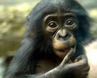 Urge NIH to Retire All Government-Owned Chimpanzees to Sanctuary
