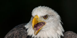 Don't Let Wind Farms Kill Bald Eagles!