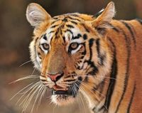 Tell India- Choose Tigers Over Coal