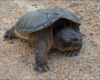 Take Snapping Turtles off Ontario's Huntable (Game Reptile) List