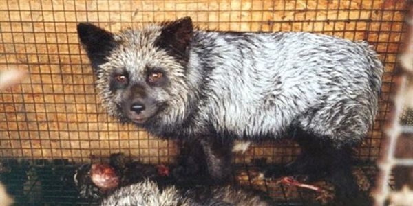 killing animals for fur