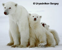 Speak Up for Polar Bear Cubs!