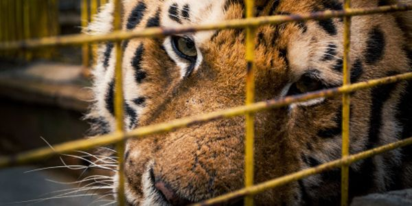 Congress: End Private Ownership of Big Cats