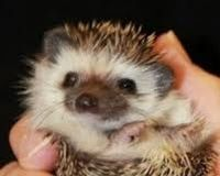 Make hedgehogs legal as pets in Georgia!