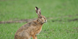 Protect Threatened Hares in the UK