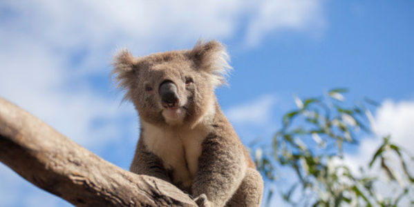 Save koala habitat in Maryborough, Qld., Australia