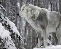 Bring back wolves to California