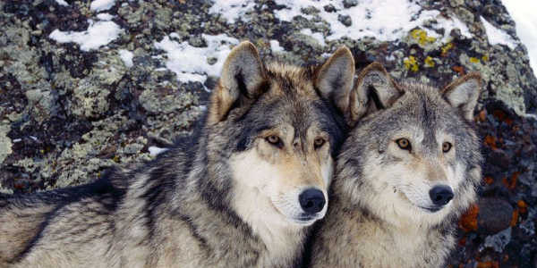 Save Wild Wolves From Hunting!