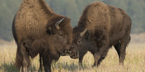 Save Yellowstone's Bison!