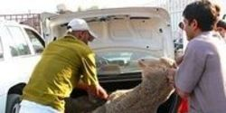 End Live Animal Export for Sacrifice