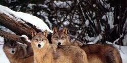 Save Wolves
