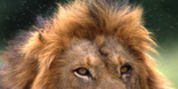 African Lions in Crisis: Please Help Today!