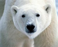 Save The Beautiful Polar Bear.. They Need You To Help..