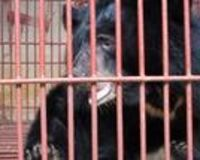 Stop the torture of moon bears in Laos!