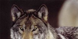STOP EXTERMINATING THE WOLVES , PUT THEM BACK ON THE ENDANGERED SPECIES ACT ALL THE TIME