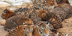 Tell China- Stop Selling Tiger Bone Wine