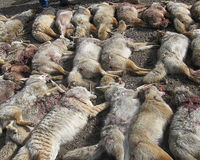 Stop Coyote Killing Contest