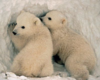 Chill the Drills - Protect Alaska's Polar Bear Seas