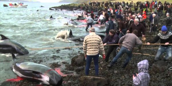 Stop the Slaughter of Pilot Whales on the Faroe Islands