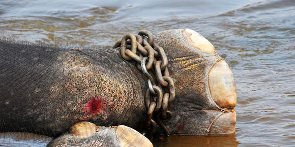 Bloodied elephant foot chained up