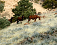 Don't Exterminate Nevada's Wild Horses