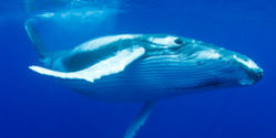 Save Whales and Dolphins from US Navy's New Deadly Plan