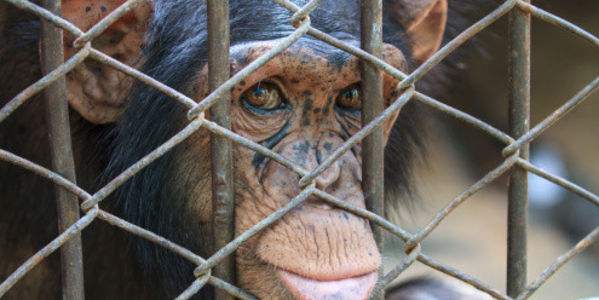 Iberia Research Center: Set Your Chimpanzees Free!
