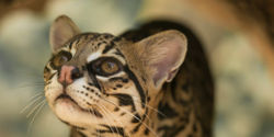 Save the Ocelot!