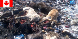 Ask Canada to stop killing stray dogs