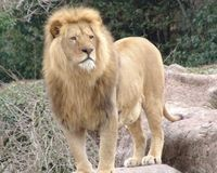 List African Lion as Endangered Species
