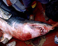 Stop shark fishing in Peru