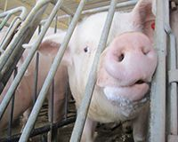Say NO to Cruel Crates for Pigs