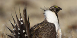 Canada: Save the Sage-Grouse