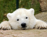 Stop Trafficking in Polar Bear Products