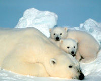Keep Arctic Wildlife Safe from Drilling Rigs