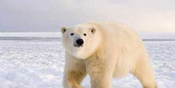 Help Stop the Hunting of Polar Bears for Profit!