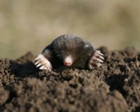 Save The Mole from Extinction