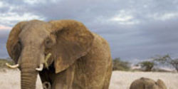 Tell Congress to Reauthorize Programs That Protect Elephants From Slaughter