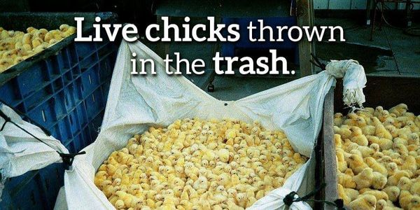 DEMAND AN END TO THE CRUEL MURDER OF DAY OLD MALE CHICKS.