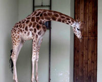 Justice for Zoo Giraffes Left Dead