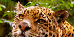 Bring Back America's Biggest Cat: Jaguar Sighting