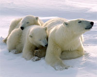 Help Stop the International Polar Bear Trade