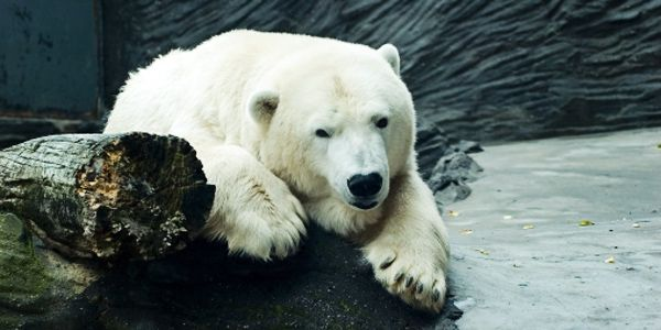 SeaWorld: Show Johnny Your Love by Leaving Polar Bears in the Wild