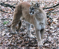 List Mountain Lion as Endangered in Nebraska
