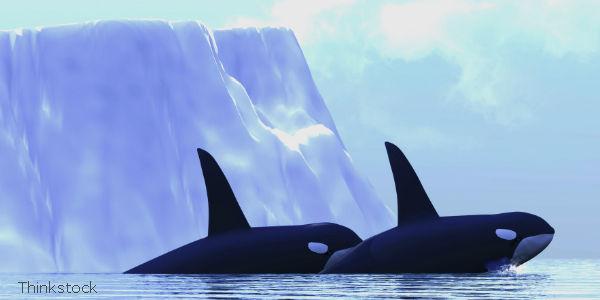 Russia, Stop Wild Orca Captures!