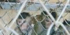 Stop the killing of Monkeys in this research lab!