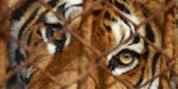 Free lions and tiger from 'circus school' in Scotland