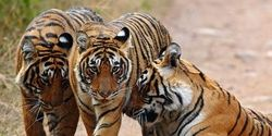 Save Bengal Tiger Corridors from Coal Mining