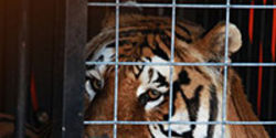 Urgent: Protect Big Cats In The U.S.