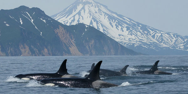 RELEASE WILD ORCAS TO THE SEAS